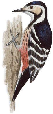 オオアカゲラ|日本の鳥百科|サントリーの愛鳥活動