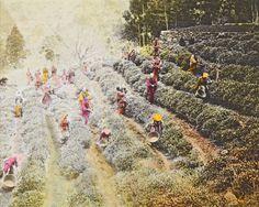Teeernte in Japan, undatiertes Bild aus dem Nachlass von Otto Jaag (ETH-Bibliothek, Bildarchiv, Dia_289-0996)