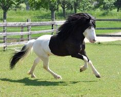 Black and white Icelandic Horse Most Beautiful Horses, All The Pretty Horses, Animals Beautiful, Cute Animals, Rare Horses, Horses And Dogs, Majestic Horse, Majestic Animals, Horse Markings