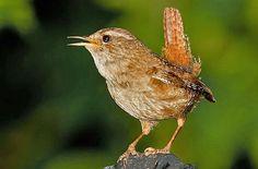 Vogelarten in der Schweiz: Zaunkönig