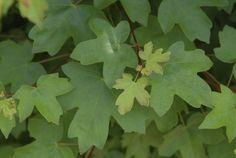 QuickHedge - Hedges deciduous, acer campestre, summer leaf detail