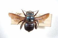 This is a double pin because the fly is pinned to the label. Carpenter Bee, Native Australians, Bees And Wasps, Australian Plants, Metallic Colors, How To Raise Money, Worms, Natural History, Old World