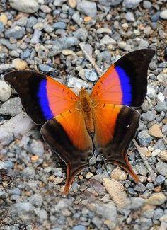 Butterfly Games, Cute Butterfly, Butterfly Kisses, Beautiful Creatures, Animals Beautiful, Cute Animals, Beautiful Bugs, Beautiful Butterflies, Types Of Butterflies