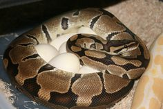 Female Ball Python with eggs