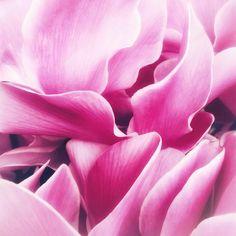 {Dreamlike} 🎠 #cyclamen #plants #flowers #flowerchild #flowermagic #magic #petals #petal_perfection #rainbow_petals #rainbow #pink #ruffles #tulle #texture #inspiredbynature #nature #naturelovers #naturehippys #earth #fairygarden #fairy #wild #bohemian #daydreaming #vintage #mystyle #lifestyle #visualsoflife #livecolorfully #peoplescreatives
