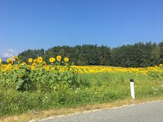 Sonnenblumenfeld Nähe Rückersdorf.