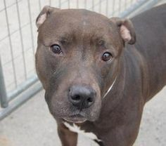 MASON is an adoptable Pit Bull Terrier Dog in Brooklyn, NY.  ...