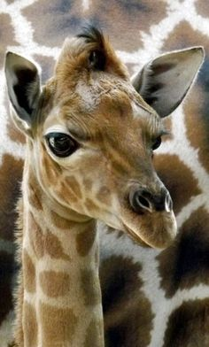 Rothschild's giraffe (Giraffa camelopardalis rothschildi) is one of the most endangered giraffe subspecies with only a few hundred members in the wild. Baby Animals, Funny Animals, Cute Animals, Animals And Pets, Baby Giraffes, Wild Animals, Giraffe Pictures, Animal Pictures, Mundo Animal