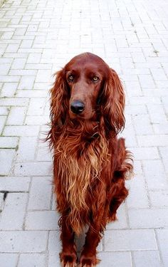 irish setter...reminds me of Loretta