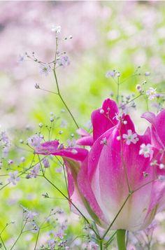 Romantic tulip - ©sonic0500 - www.flickr.com/photos/sonic0500/6988936028/