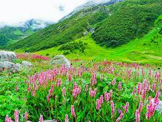 El Parque Nacional del Valle de las Flores se sitúa en la zona oeste de la cordillera del #Himalaya, en el estado de #Uttaranchal, en la #India. La vista que nos ofrece el valle es inigualable, verdes prados cubiertos por un tupido manto de brotes multicolores, guarecidos por brumosas cumbres nevadas. Un paraíso alpino de belleza indescriptible en las alturas del Himalaya.