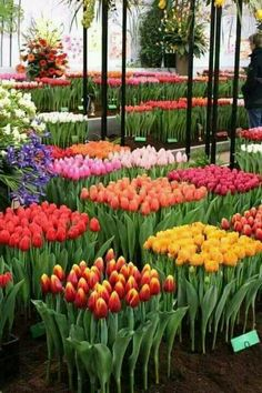 Tulips : a dutch passion - Tulpen Tulips Garden, Garden Bulbs, Tulips Flowers, Pretty Flowers, Spring Flowers, Planting Flowers, Red Tulips, Beautiful Flowers Garden, Exotic Flowers