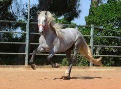 Faraon, PRE stallion