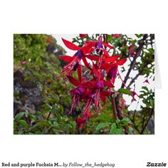 Red and purple Fuchsia Magellanica Postcard Red and purple Fuchsia Magellanica. Hummingbird Fuchsia or Hardy Fuchsia is a species of flowering plant in the Evening Primrose family, native to Patagonia. The picture was taken in Ushuaia, Argentina Floral Invitation, Invitations, Christmas Decorations, Christmas Ornaments, Holiday Decor, Free Recycle, Evening Primrose, Make Your Own Poster, Modern Artwork