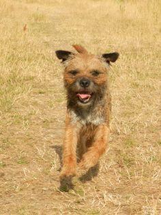 Border Terrier - Opgaan in het landschap