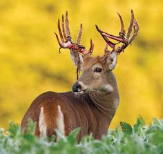 Deer Hunting Tips: How to Read Buck Body Language Most deer hunting tips concern reading deer sign. But, don't miss out on your chance to read a buck's body language. Look for these 8 cues to take your biggest whitetail ever. Photo Gallery by Bob Humphrey Outdoor Life Article