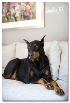Doberman Doggies, Dogs And Puppies, Doberman Love, Doberman Pinscher, German Shepherd Puppies, Service Dogs, Working Dogs, Mans Best Friend, I Love Dogs