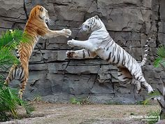 A white tiger and siberian tiger engaging in a fight.