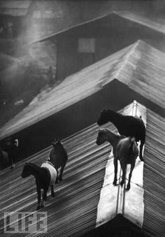Goats on the Roof, W. Eugene Smith (1954). LIFE Magazine