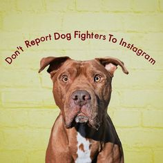 """Reposting an excellent PSA from @tuff_sausage: """"Please do NOT report any animal abuse to Facebook or Instagram be it dog fighting puppy mills or people tying their dogs' mouths shut with duct tape. FB & IG are social networks who have neither the legal power nor the staffing to investigate the millions of accounts they host. All they can do is shut down the pages and with that one of the most important weapons that the police the FBI and humane society task forces have is gone. They use…"""