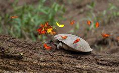 Vida Eco Organica (eco life): Mariposas que beben lagrimas de tortuga.