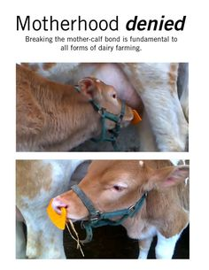 """This farmer is so invested in the lie that taking mothers' milk from other animals is a reasonable thing to do — a good and valuable service — that he can go from stroking a calf, to forcing a clamp into his nostrils that will cover the calf's mouth with a plate specifically designed to thwart the calf's every effort to nurse."" — Ashely Capps, from her article ""The Spiked Nose Ring: A Symbol for All Dairy Cruelty"""