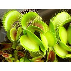 Some seed grown Dionaea  #Dionaea #seedgrown #dionaeamuscipula #Carnivorousplant #VFT #Venusflytrap #plant #carnivoroustagram #carnivorous #nature #botany #naturelovers #naturegram #sunny #plantswithbite by taudan