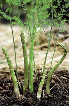 Growing asparagus.  Perennial vegetable = only plant once! Good companions: rhubarb, strawberry, horseradish.