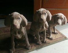 AKC Weimaraner puppies
