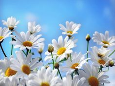 The best home for HD Wallpapers for your desktop or mobile device. Daily uploads, loads of images and more. Daisy Wallpaper, Wallpaper Nature Flowers, Flower Phone Wallpaper, Flowers Nature, White Flowers, Beautiful Flowers, Beautiful Places, Daisy Petals, Daisy Daisy