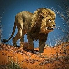 . Photography by © (Ania Tuzel). King of the Kalahari . #lion #africa #kalahari #animal #wildlife