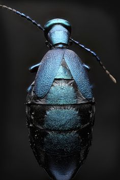 BugBlueTwo