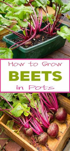 How to Grow Beets in Pots #vegetablesgardening