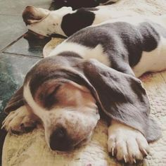 70 Southern Names for Male Dogs – The Paws Baby Basset Hound, Basset Puppies, Hound Puppies, Cute Puppies, Cute Dogs, Dogs And Puppies, Doggies, Beagles, Cocker Spaniel