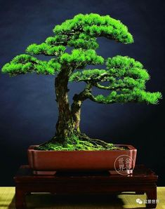 Pine Bonsai, Bonsai Art, Bonsai Plants, Bonsai Garden, Zen, Cactus, Bonsai Styles, Miniature Trees, Growing Tree