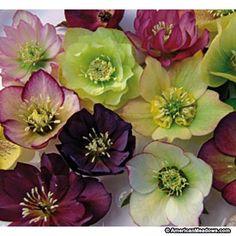 Lenten Rose Brandywine, Helleborus, Lenten Rose or Hellebore