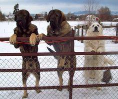 Spanish Mastiffs from Cinco Deseos Ranch along with Paloma  www.lgdnevada.com