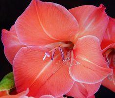 ~~ Gladiolus's Beauty ~~