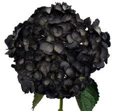 Black/violet hydrangeas flower