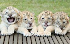 Egy fehér oroszlán és egy fehér tigris szerelméből tündéri csíkos bébik születtek. Nézd meg, milyen aranyosak!  Ők négyen a világ legtündéribb teremtményei. A csíkos újszülötteket…