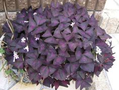 """WISHLIST---""""Oxalis"""" (False or Purple Shamrock/ Love Plant). A great article! Can tolerate different levels of lights and different amount of water."""