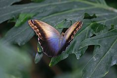 exotic butterfly pics | Exotic butterflies in the Wisley glasshouse | Flickr - Photo Sharing!
