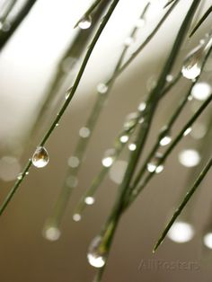 Rain Drops on Pine Branch Needles Fotoprint