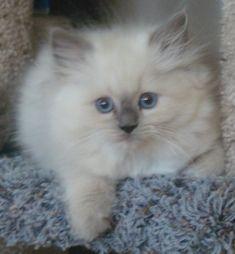 Prince Armani - Ragdolls - Ragdoll Cats & Ragdoll Kittens & Ragdoll Breeders for Sale
