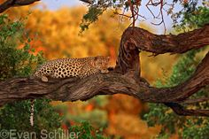 Chobe Leopard. After leaving his kill, this young male rested in a tree just as the sun was setting. www.golfshots.com