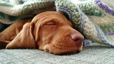 Vixen, an 8 week old Vizsla pup.