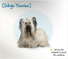 Did you know the Skye Terrier originated on the Isle of Skye, a Scottish island located to the northwest of the mainland? The only terrier belonging solely to the island, the Skye Terrier has remained constant in his appearance for at least four centuries – and it is an unusual appearance! His long body, supported by short legs, is low to the ground, and his hair coat is long and luxurious, almost completely obscuring his face and feet. Beautiful Dog Breeds, Beautiful Dogs, Skye Terrier, Different Dogs, Short Legs, Dogs And Puppies, Scotland, Lord, Facts