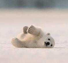 Polar Bears International | Facebook