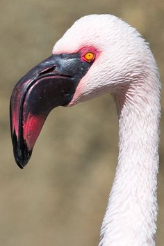 flamingo headshot
