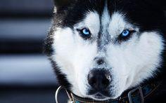 White Siberian Husky Wolf Mix